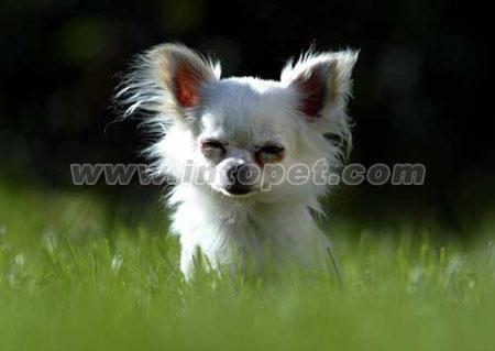 "screen.width400)this.style.width=screen.width400;"" border=0>   2004年9月17日,在斯洛伐克中部城市雷武察,一只两岁大的微型宠物狗将前爪搭在主人的双手上。这只名为丹卡的吉娃娃种宠物狗身长18.8cm,身高13cm,已经被吉尼斯世界纪录收录为世界上身材最小的宠物狗。   2004年9月17日,一只名为Danka吉娃娃狗身长仅18."